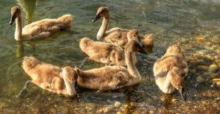 Щенята лебедя Стоковое Фото