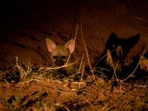 Щенята земляного волка Стоковые Фото
