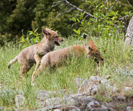 Щенята койота играя в траве Стоковое Изображение
