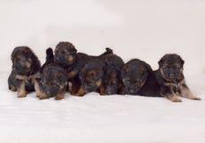 Щенята немецкой овчарки 1 месяц старый Стоковая Фотография RF