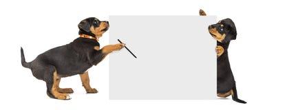 Щенята писать сообщение на знаке знамени сети Стоковое Изображение RF