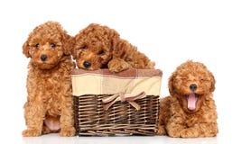Щенята пуделя игрушки Стоковая Фотография RF