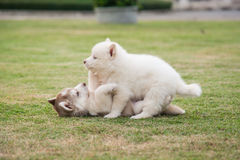 Щенята сибирской лайки играя на зеленой траве Стоковая Фотография
