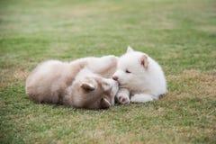 Щенята сибирской лайки играя на зеленой траве Стоковое Фото