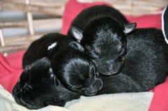 Щенята спать Стоковые Фото