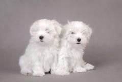 щенята 2 собаки мальтийсные Стоковое фото RF
