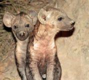 щенята hiena Стоковые Фотографии RF