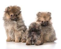 Щенята Pomeranian Стоковое Изображение