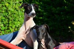 Щенята Sighthound стоковая фотография rf
