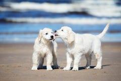 2 щенят золотых retriever на пляже Стоковое фото RF