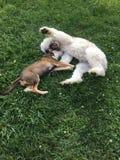 2 щенят играя в траве Стоковое фото RF