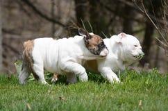 2 щенят играя снаружи Стоковое Изображение