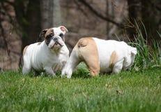 2 щенят играя снаружи Стоковое Фото