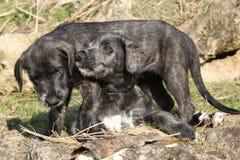 2 щенят ирландского Wolfhound в саде стоковое изображение