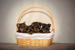 4 щенят йоркширского терьера в корзине калитки стоковые фото