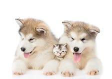 2 щенят маламута лежа с крошечным котенком белизна изолированная предпосылкой стоковая фотография