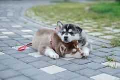 2 щенят осиплого Собаки сора спать на улице Стоковые Фотографии RF