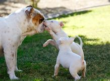 2 щенят терьера быка играя с бульдогом Стоковые Фото