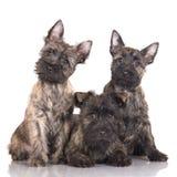 3 щенят терьера пирамиды из камней Стоковая Фотография