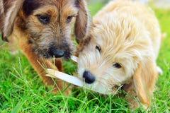 2 щенят joyfully играя друг с другом Стоковое фото RF
