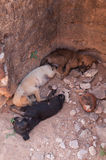 3 щенят napping в стародедовском городе Polonnaruwa, Шри-Ланка Стоковое фото RF