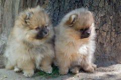 2 щенят pomeranian играть собаки внешний Стоковое Фото