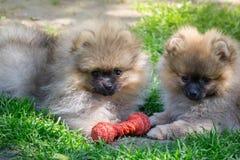 2 щенят pomeranian играть собаки внешний Стоковые Изображения