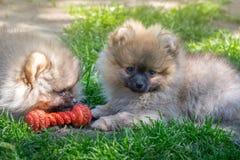 2 щенят pomeranian играть собаки внешний Стоковые Фотографии RF