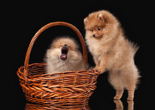 2 щенят Pomeranian на черной предпосылке Стоковое фото RF