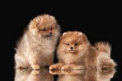 2 щенят Pomeranian на черноте Стоковые Фотографии RF