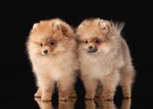 2 щенят Pomeranian на черноте Стоковое Изображение