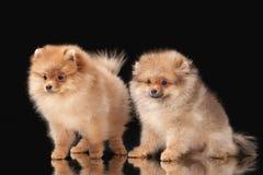 2 щенят Pomeranian на черноте Стоковые Изображения RF