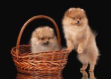 2 щенят Pomeranian на черноте Стоковое Изображение RF