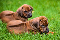 2 щенят Rhodesian Ridgeback лежа на траве Стоковая Фотография RF