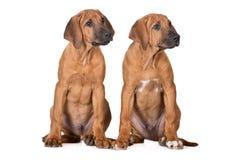 2 щенят ridgeback сидя на белизне Стоковое Изображение RF