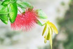 Щетка круглой бутылки цветет haematocephala Calliandra стоковые фото