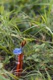 Щетки с цикорием цветут в бутылке на предпосылке gra Стоковая Фотография