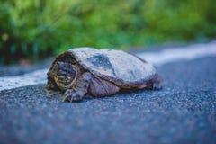 Щелкая черепаха на стороне дороги Стоковое фото RF
