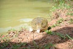 щелкая черепаха Стоковое Изображение RF