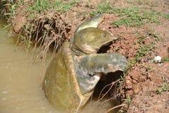 щелкая черепаха Стоковое Изображение