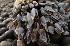 Щипцы гусыни прикрепленные к утесу на пляже Стоковые Изображения RF