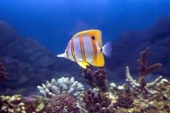 щипчики Helman Рыб-бабочки Стоковые Изображения RF