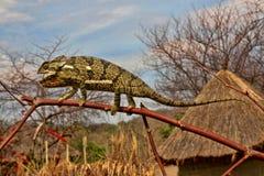 Щитк-necked, dilepis Chamaeleo, Замбия стоковые изображения rf