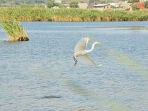 Щиток крыла Egret Стоковое Изображение