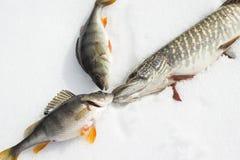 Щука и 2 ярких и свежих рыб садятся на насест яркий блеск в солнце лежа на снеге Стоковое Изображение RF