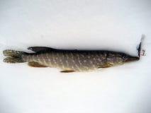 щука льда рыболовства Стоковые Изображения RF