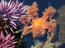 Щупальца оранжевого морского огурца Стоковое Изображение