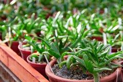 Ые-зелен плантации яркие, сочные суккулентные заводы в баках Селективный фокус, запачканная предпосылка Стоковые Изображения RF