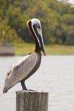 ые пеликаном заболоченные места столба Стоковое Изображение