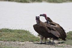 ые хищники serengeti национального парка lappet Стоковое фото RF